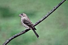 Female House Finch (deanrr) Tags: alabama finch raindrops backyardbird 2015 femalehousefinch morgancountyalabama birdstudio