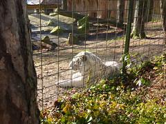Zoo de Beauval (delphinecingal) Tags: zoo beauval tigreblanc