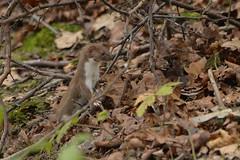 Weasel (Kentish Plumber) Tags: uk white nature woodland fur mammal countryside ginger kent nikon europe wildlife southeast southernengland leaflitter weald d610 smallmammal nbw mustelanivalis shorttailedweasel 8004000mmf4556 russetbrown