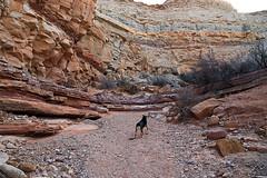 Frikka Points Up Bell Canyon (Bob Palin) Tags: 15fav usa dog canon landscape utah sandstone hiking sanrafaelswell emerycounty bellcanyon club100 100vistas instantfave canonef24105mmf4lisusm frikka orig:file=2015120703921