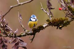 Blaumeise 5 (rgr_944) Tags: bird animals tiere outdoor natur animaux vögel oiseau vogel canoneos60dcanoneos70d rgr944