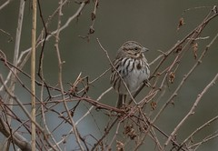 New Year's Day Song Sparrow (Odonata457) Tags: county airport unitedstates song maryland prince sparrow laurel georges barc melospizamelodia