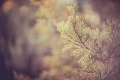 Blue for You (Elizabeth_211) Tags: blue plant tree nature garden bokeh tennessee evergreen 135mm jacksontn westtn utgardensjackson sherielizabeth