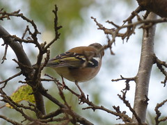 X P2220411C (Young??) Male Chaffinch . .. Woodland/Garden Edge. .. . (Erniebobble *~* HappyHolyWeek2018! *~*) Tags: above wood blue autumn light wallpaper portrait sky stilllife brown white black blur reflection tree green bird nature leaves birds woodland garden painting season grey golden wings focus soft pattern colours looking pastel background wildlife branches tail restful peaceful overcast pale foliage study hues edge environment balance beyond perched resting suspended glimpse fleeting twigs dull newforest tranquil linger avian gentle muted feathered hopeful plumage transient twitcher subdued 2015 harmonious illuminating abscission wildlifegarden malechaffinch lookupon erniebobble