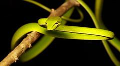Ahaetulla prasina [Asian Vine Snake] (kkchome) Tags: herp herping herpetology reptile snake colubrid ahaetullaprasina asian vine asia malaysia bukit fraser wildlife fauna nature