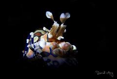 Harlequin shrimp (Hymenocera picta) (Randi Ang) Tags: harlequin shrimp hymenocerapicta kuanji tulamben bali indonesia underwater scuba diving dive photography macro randi ang canon eos 6d 100mm randiang