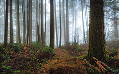 Have You Ever Heard Things In A Forest? (John Westrock) Tags: forest trees nature fog foggy depthoffield pacificnorthwest washington canoneos5dmarkiii canonef2470mmf28lusm issaquah canonef2470mmf28l washingtonstate