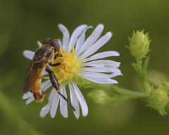 Male Tropidia Syrphid Fly (milesizz) Tags: iptera milwaukee wisconsin wi aschiza syrphidae syrphidflies eristalinae milesiini tropidiina tropidiaquadrata
