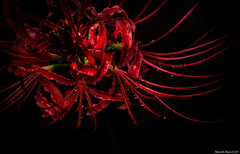 / red spider lily (March Hare1145) Tags: flower  plant     redspiderlily led  black
