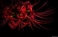 ヒガンバナ / red spider lily (March Hare1145) Tags: flower 花 plant 植物 ヒガンバナ 彼岸花 曼珠沙華 redspiderlily led 赤 black 黒