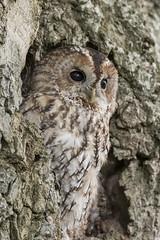 Tawny Tree (Gary Hickson Photography L.R.P.S.) Tags: tawnyowl owl owls raptor birdofprey wales oak nature wildlife