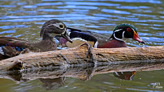 Le couple Branchu-The Wood Duck couple (Marie-Jose Lvesque) Tags: canard duck canardbranchu woodduck femelle mle couple wildlife nature basedepleinairsaintefoy qubec canada laclaberge 2016 migration parcsduqubec oiseau bird outdoor