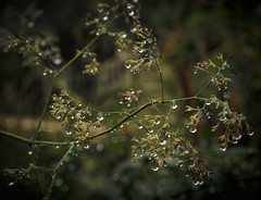 Chandelier (Explore, Oct. 23) (Mildred Alpern) Tags: raindrops plant stems outdoors depthoffield