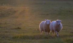 Lambs in Sunset Light