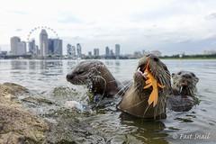 Bishan10 otters at Gardens-by-the-bay (FastBlueSnail) Tags: singapore wild otters wildlife bishan10 gardenbythebay fast snail marina bay