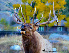 NATURE'S SONG ... (Aspenbreeze) Tags: elk bullelk full wildlife nature wyomingwildlife antlers aurumn rutseason trees bugle animal wildanimal rural outdoors yellowstone yellowstonenationalpark bevzuerlein aspenbreeze moonandbackphotography