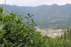 Tea fields in Wazuka (Obubu Tea Farms) Tags: farm greentea japan obubu tea teafarm wazuka