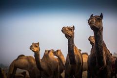 L1002884.jpg (Bharat Valia) Tags: pushkarfair bharatvalia desert bharatvaliagmailcom pushkarmela pushkarimages festivalsofindia pushkar camel pushkarcamelfair sheperd