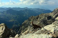 Cuorious Ibex family (supersky77) Tags: ibex capraibex stambecco steimbock alpi alps alpes alpen orobie orobian lombardia lombardy lombardie lombardei