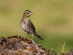 Savannah Sparrow (sbuckinghamnj) Tags: sparrow glenhurstmeadows newjersey savannahsparrow