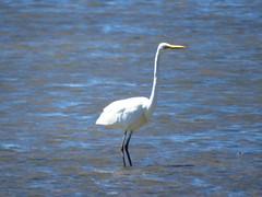 great egret, king island, wellington point, mjc-2016-09-22-IMG_3609 (wiccked) Tags: greategret egrettaalba ardeaalba wellingtonpoint kingisland lowtidecauseway
