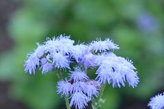 Blue Monday (dfromonteil) Tags: flowers fleurs blue bleu vert green colors couleurs macro bokeh softness nature garden jardin lumire light