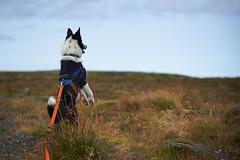 28august_Hringur&Venus_lastPlay_034 (Stefán H. Kristinsson) Tags: hringur venus august 2016 play leikur last reykjanes patterson iceland ísland