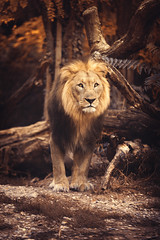 Proud (stephanie_degen_photography.ch) Tags: schweiz switzerland suisse swiss basel outdoor autumn animal nature natur enjoy family friends love beauty nikon d810 lion proud male cat
