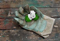 SENSITIVITY…!? . . . (GREECE, ATTICA, DIONYSOS) (KAROLOS TRIVIZAS) Tags: greece attica dionysos glove rose work romance flower fauna romantic symbolism allegory contradiction workbench sensitivity tenderness petals leaf