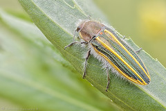 Lasionota conjuncta (cheloderus) Tags: jewelbeetle buprestid buprestido lasionota dactilozodes conjuncta stigmoderini escarabajo fieldstack chile viregin beetle macro insect