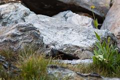 Pika (GlobalGoebel) Tags: canoneos5dmarkiii canonef24105mmf4lisusm 24105mm grand teton national park wyoming backcountry pika tetoncresttrail