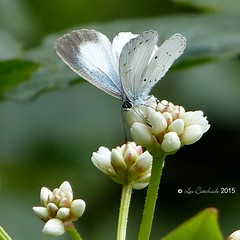 White-disc hedge blue (LPJC) Tags: butterfly munnar kerala india 2015 lpjc whitedischedgeblue celatoxiaalbidisca