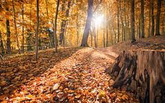 Autumn gold (Stefan Sellmer) Tags: sunshine october wow landscape herbst woods germany mood gold wald sunbeams hdr tree schleswigholstein kiel leaves nature deutschland de