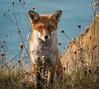 Fox, Isle of Wight (Elm Studio) Tags: copyright copyrighted jeffmorgan elmstudio jeffelmstudiocom wwwelmstudiocom 4407542933700 isleofwight morgan nature alumbay gb england solent uk totland freshwater fox sea cliff water evening gbr