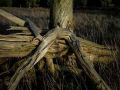 Breckland Tree (daverichards4819) Tags: dusk breckland norfolk twisted pine winter decay