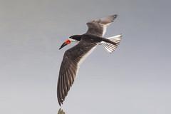Flying Skimmer (Patricia Ware) Tags: birdsinflight blackskimmer bolsachica california canon huntingtonbeach rynchopsniger handheld httppwarezenfoliocom ©2015patriciawareallrightsreserved specanimal
