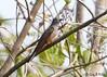 Brush Cuckoo (Cacomantis variolosus) (Greg Miles) Tags: cacomantisvariolosus brushcuckoo alotau milnebay papuanewguinea