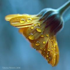 November Calendula (Tanjica Perovic) Tags: marigold flower petals drops droplets waterdops freshness vitality growth beautyinnature calendulaofficinalis medicinaluse gentle delicate serene tender
