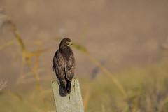 Angry Bird (skees499 ) Tags: buizerd buteobuteo natuur noordwaard biesbosch keesmolenaar d500 nikon nederland netherlands ngc