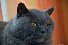 Vinci (Mystycat =^..^=) Tags: vincidelachézine chat kitty katze cat gato gatto british britishshorthair bleu blue pedigree félin feline