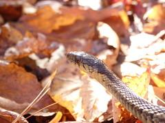 Thamnophis sirtalis (eastern garter snake) (nicholasrmassey) Tags: thamnophis sirtalis eastern garter snake reptile fauna basking