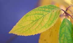 Simple Leaf (imageClear) Tags: hydrangea autumn fall lovely color aperture nature nikon d500 105mm macro imageclear flickr photostream