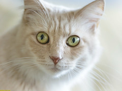 Hypno Cat (Emil de Jong - Kijklens) Tags: mainecoon maine coon cat cats kat katten eye eyes oog ogen geel yellow apricot face portret portrait pet depthoffield