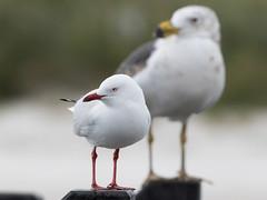 Silver Gull (Chroicocephalus novaehollandiae) (Ian Colley Photography) Tags: silvergull chroicocephalusnovaehollandiae esperence westernaustralia canoneos7dmarkii 500mm bird