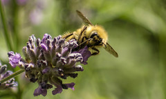 Bee on Lavender (WoodlandsPhotography) Tags: honeybee flower macro pollination bee lavender nature blossoms insect summer yellow black spring flowers bees honeybees insects blossom pollinate garden animal green closeup outdoor outdoors plant plants natural collect beautiful floral leaf up close wild worker wildlife wing wings workers leaves feeding gathering gather small alone flora standingup stand background winged pink mauve spike bloom blooms spanishlavender marilynwilson