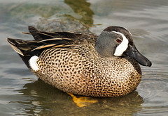 Blue-Winged Teal (BernieErnieJr) Tags: bluewingedteal duck water reflection wildlife outdoors sony70400mmg2 sonya77mkii greatphotographers teamsony