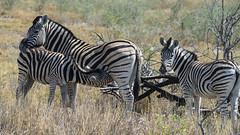 Zebras_09108 (tombomba2) Tags: 80400vrii nikkor nikon objektive tiere zebras animals fullresolution lenses namibia etosha