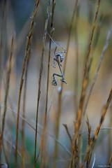 Jeune Empuse - Empusa pennata (Mathias Dezetter) Tags: animal insect wildlife praying animaux sud garrigue faune mantes invertbr empuse