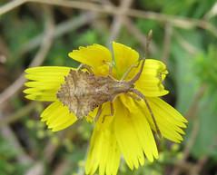 Syromastus rhombeus nymph - Holme Dunes, Norfolk 2014a (Steven Falk) Tags: steven falk rhombic leatherbug rhombeus syromastus