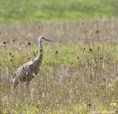 Sandhill Crane - Standing Tall (digithief) Tags: ca cambridge ontario canada birds nikon sandhillcranes d800